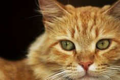 Maine Coon, Cats And Kittens, Genere, Animals, Animales, Animaux, Animal, Animais, Cats