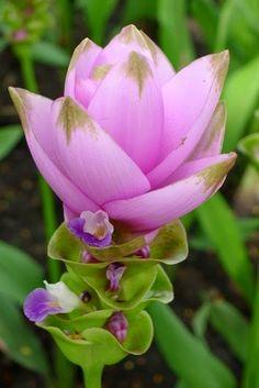 Curcuma alismatifolia: Siam Tulip