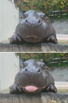 Baby hippo blep - - Visit the post for more. The Animals, Cute Baby Animals, Funny Animals, Vegan Animals, Wild Animals, Baby Hippo, Cute Hippo, Funny Babies, Funny Dogs