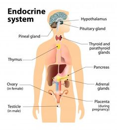 endocrine system - Google Search