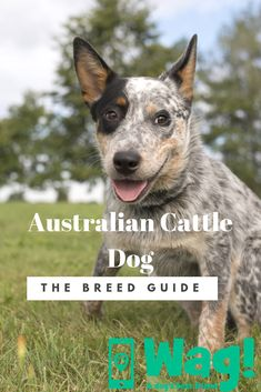 Everything you need to know about Australian Cattle Dogs! American Cattle Dog, Australian Cattle Dog Red, American Foxhound, Wag Dog Walking, Dog Ornaments, Memorial Ornaments, Christmas Ornaments, Dog Best Friend, Popular Dog Breeds