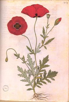 Poppies, artist not specified
