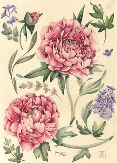 Watercolor botanical illustration. Peonies