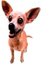Remember Gidget, the Taco Bell Dog -   Such funny commercials!