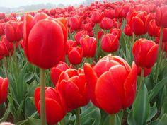 Rode tulpen, ik hou ervan om ze te zien op zo'n mooi bollenveld.