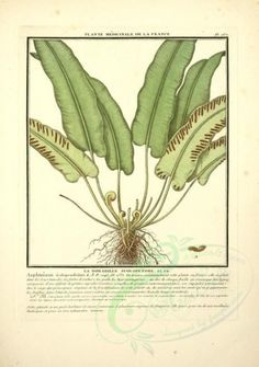 asplenium scolopendrium - high resolution image from old book. Botany Illustration, Old Book Pages, Art Clipart, Free Download, Picture Collection, Wall Collage, France, Cactus Plants, Plant Leaves