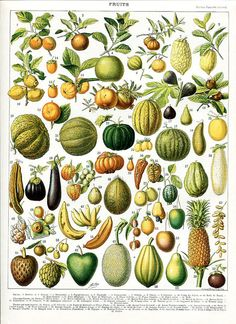 A vintage illustration of a wide variety of fruits and vegetables from the book, Nouveau Larousse Illustre by Larousse, Pierre, Augé and Claude, Digitally enhanced from our own antique chromolithograph. Fruit Illustration, Antique Illustration, Botanical Illustration, Botanical Drawings, Botanical Prints, Botanical Posters, Impressions Botaniques, French Colors, Illustration Botanique