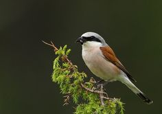 Red-backed Shrike -Birds in alphabetical order N-Z - Lars Madsén Bird Photography