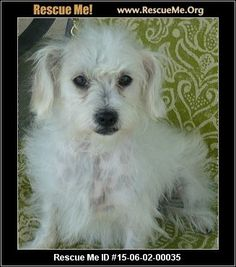 Gemma Atkinson (female)  Maltese Mix  Age: Puppy  Compatibility:Good with Most Dogs, Good with Kids and Adults Personality:Average Energy, Average Temperament Health:Spayed  Gemma Atkinson is an adorable little Maltese mix we rescued pregnant from San Bernadino City Shelter. Gemma is the BEST MOMMA ever. She is a complete joy to have around - sweet , fun loving, cuddly. tion:  Fluffs & Scruffs, A Dog Rescue Los Angeles County Beverly Hills, CA MAP IT!  Contact: Lisa Coron