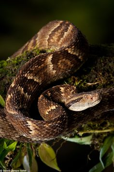 The Jararacussu (Bothrops jararacussu) is a large, highly venomous pitviper from eastern Brazil. They are more common in the Atlantic Rainforest. Most attacks and even fatalities are atributed to this snake. We found this one along a forest trail. This is probably a female due to its yellowish color, males are more gray toned.