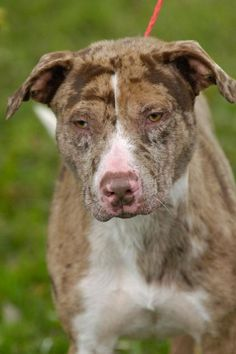 12 12 14 Last day to live Breed:Catahoula Leopard Dog Age: Young adult Gender: Male Shelter Information: Johnson City/Washington Co. Animal Shelter 525 Sells Ave  Johnson City, TN Shelter dog ID: D2014863 Contacts: Phone: 423-773-8510 Name: Hannah Greene email: jcanimalshelter@embarqma