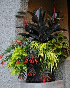 Ficus elastica ~ Fuschia, Ipomea ~ Hackenochloe ~ Coleus.