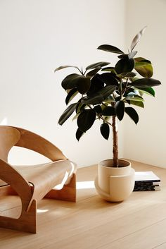 Gorgeous rubber plant and modern chair