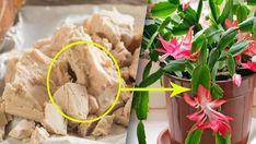Nejúčinnější živina pro pokojové rostliny! Domácí hnojivo, které si může vytvořit každý! | Vychytávkov Hoya Plants, Christmas Snowman, Diy And Crafts, Home And Garden, Vegetables, Ethnic Recipes, Gardening, Rarity, Tips