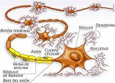 asociación de neuropatía autonome bij diabetes