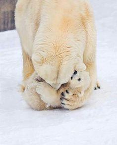Momma polar bear and cub