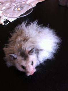 Lang håret Hamster