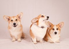 Corgi, corgi, corgi by jeffdillonphotography, via Flickr