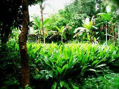 Turmeric Trees, behind my old house's yard...     http://biocurmin.blogspot.com/2013/03/tac-dung-cua-nghe-trong-dieu-tri-viem-hang-vi-da-day.html