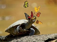 Butterflies are friends of the turtle.In Ecuador's Yasuní National Park, butterflies sip a yellow-spotted river turtle's tears. The mineral-rich liquid helps the insects reproduce. In exchange, the reptile gets a good eye-cleaning.Photo by Pete Oxford