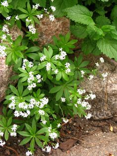 Non invasive sun shade ground cover | Sweet woodruff: a shady character - Denver Flower and Gardening ...