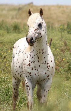 appaloosa horse, I have always wanted one!