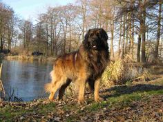 The beloved Leonberger is an impressive dog that continues to win hearts the…