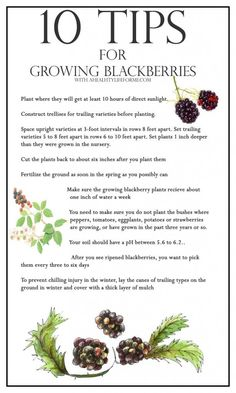 10 Tips For Growing Blackberries - A Healthy Life For Me #Gardening #Blackberries #Tips