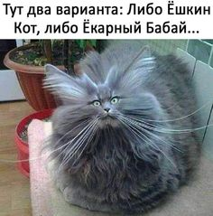 Bad Hair Day Cat cute animals cat cats adorable animal kittens pets kitten funny pictures funny animals funny cats Tap the link for an awesome selection cat and kitten products for your feline companion! Funny Animal Jokes, Funny Cat Memes, Cute Funny Animals, Cute Baby Animals, Funny Humor, Cats Humor, Animal Humour, Funny Cute Cats, Animal Funnies