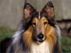 Pretty Collie - rough-collie Photo Beautiful!! This is what I call a perfect Collie