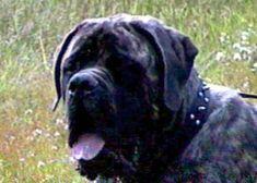 Boys-Old English Mastiff Dogs Top Pedigree Puppies Mastiff Puppies For Sale, Mastiff Dogs, Old English Mastiffs, Boys, Baby Boys, Senior Boys, Sons, Guys, Baby Boy