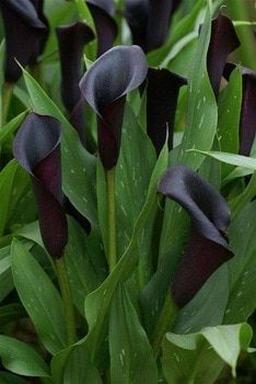 Multi-Color Calla Lily Seeds 100 Pcs/pack – GreenSeedGarden Dark Flowers, Exotic Flowers, Amazing Flowers, Beautiful Flowers, Black Calla Lily, Zantedeschia, Gothic Garden, Black Garden, Calla Lillies