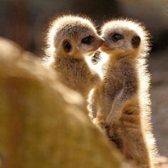 En image - 16 drôles de suricates repérés sur Pinterest