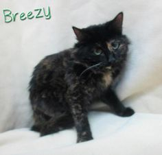 BREEZY IS URGENT    Located in Mullins, SC- Marion Co. Animal Shelter/Paws to the Rescue All donations are tax deductible!  ID# 130101  Approx.Age: 2 y/o  Weight: 6 lbs  Suspected breed(s): DMH Tortie  FIV/FeLV Status: Negative  Sex: Female  She arrived as a stray and VERY scared but is starting to come around.  MCAS is a high-kill, open COUNTY shelter.   Rescues interested in pulling? Please email SaveAMarionPup@gmail.com  Adopters interested in adopting? Please email…