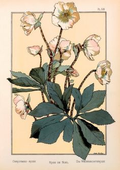 The Christmas Rose (colour litho), Martin, Anna / Private Collection / © Purix Verlag Volker Christen / Bridgeman Images Art And Illustration, Floral Illustrations, Fleurs Art Nouveau, Art Nouveau Flowers, Botanical Flowers, Botanical Prints, Art Floral, Impressions Botaniques, Illustration Botanique