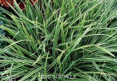 Ice Dance Japanese Sedge - Carex morrowii 'Ice Dance'. Strong creamy-white leaf margins add brightness to shady and woodland gardens and borders. Spreads by underground stems (rhizomes) to create a dense mat - an easy groundcover - but is not invasive. Evergreen to -10 Fahrenheit. Partial to full sun. Blades to 1 ft. tall, spreading slowly by rhizomes to form a carpet.