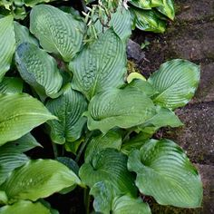 Hosta 'Reptilian'  Photo: Alison Rosa | thisoldhouse.com | from Grow a Lush Shade Garden With Hostas