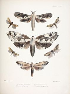 Zenzera, Duomitus, Hepialus. Illustrations of typical specimens of Lepidoptera Heterocera in the collection of the British Museum v.6 London: Printed by order of the Trustees1879- Biodiversitylibrary. Biodivlibrary. BHL. Biodiversity Heritage Library