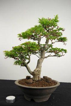 Bonsai+Japanese+maple+shishigashira,+Acer+palmatum+shishigashira,+no.+4463