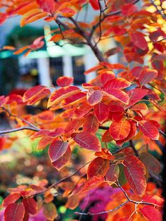 Serviceberry:  Here's an option for a small tree that has 4 seasons of interest.  White flowers in spring followed by edible purple berries.  Also takes some shade.  Great fall color. Planting Shrubs, Landscaping Plants, Garden Shrubs, Shade Garden, Planting Flowers, Garden Plants, Trees And Shrubs, Trees To Plant, How To Attract Birds