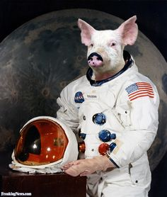 astronaut pig