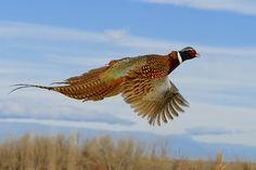Ring-necked pheasant flies...
