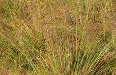 Sporobolus Heterolepis, Prairie Dropseed, Prairie Drop seed, Ornamental Grass