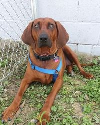 URGENT!!! TRISH/LISBON, OHIO>>TRISH****PARTIALLY SPONSORED****** is an adoptable Redbone Coonhound Dog in Lisbon, OH. Hello!!! My name is TRISH and I am about 3yrs old and weigh about 65#. I like the other dogs and hang out with t...