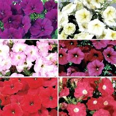 Petunia Grand Prix Patchwork 100 Plants + 60 FREE Best selling trailing Petunia will not fail to delightPatchwork collections are varieties where we have been able to sow the colours separately. Trailing Petunias, Bright Bedding, Grand Prix, Colours, Plants, Inspiration, Biblical Inspiration, Planters, Plant