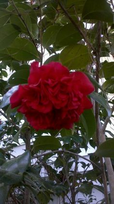 CAMELLIA (RED) - You're a flame in my heart