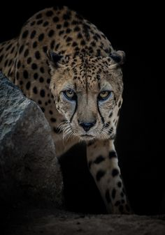 "sdzoo: "" If ever an animal was born to run, it's the cheetah. Image experiment by Bob Worthington """