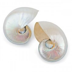 Polished Natural Nautilus (Pair)