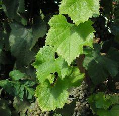 Grape Recipes, Fruit Recipes, Wine Recipes, Oil Painting Basics, Grapevine Leaf, Fresco, Grape Plant, Food Art For Kids, Leaf Photography