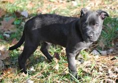 PUPPY WYATT is an adoptable Pit Bull Terrier Dog in Franklin, TN Wyatt is a 9 week old spunky pup who takes each day in stride and is just plain happy no matter ... ...Read more about me on @petfinder.com